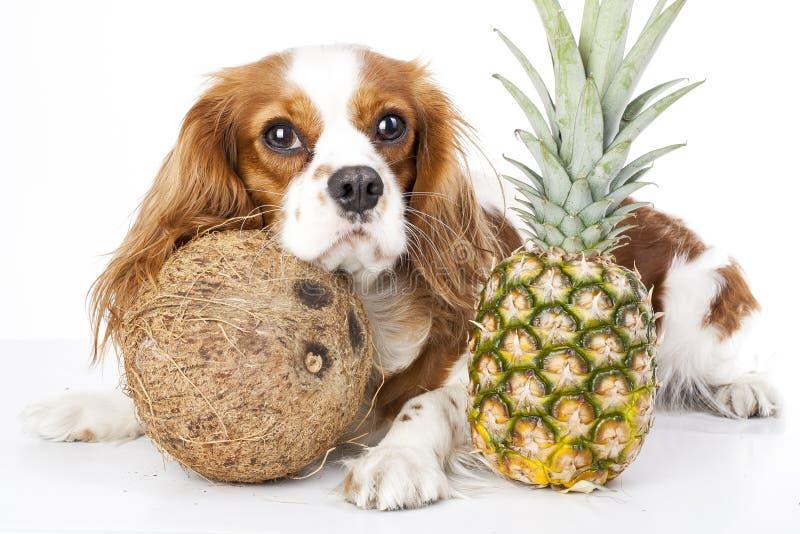 Kan hundkapplöpningen äta fruktillustrationen Tropisk frukt och stolt spanielhund för konung charles Hund med fruktmat Hundhälsov royaltyfri bild