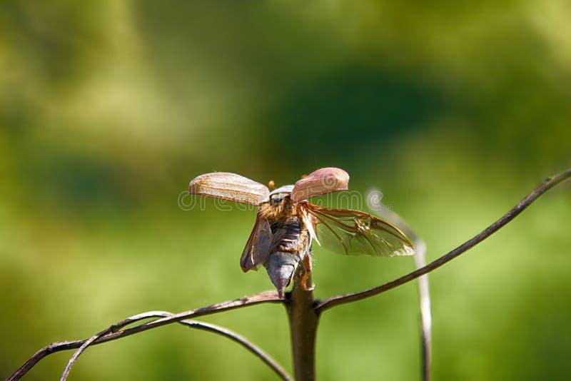 kan kevervliegen royalty-vrije stock foto's