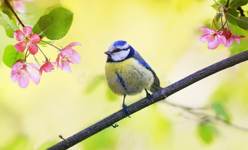 Kan naturlig bakgrund för våren med den lilla gulliga fågelmesen som sitter i, arbeta i trädgården på en filial av att blomma det royaltyfria foton