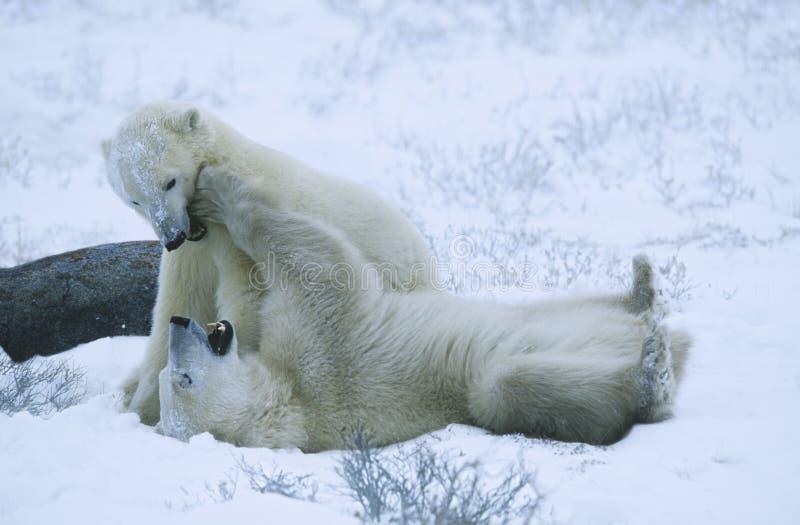 Kanada Churchill niedźwiedzia polarnego lisiątka bawić się w śniegu zdjęcia stock