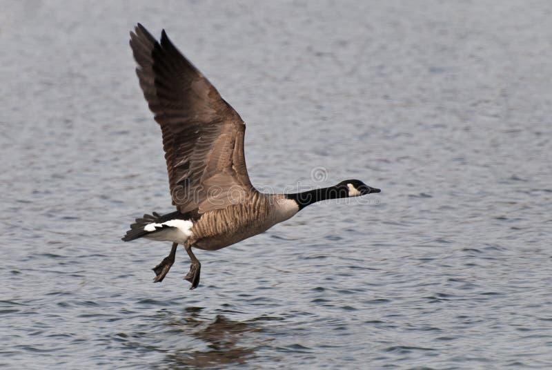 Kanada flyggås som tar till royaltyfri fotografi