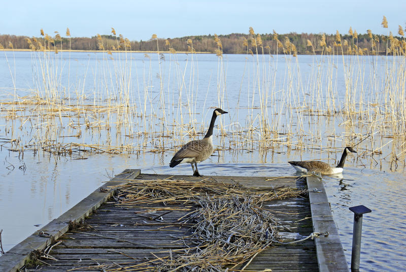 Download Kanada-Gänse stockfoto. Bild von paar, vogel, szenisch - 12200818