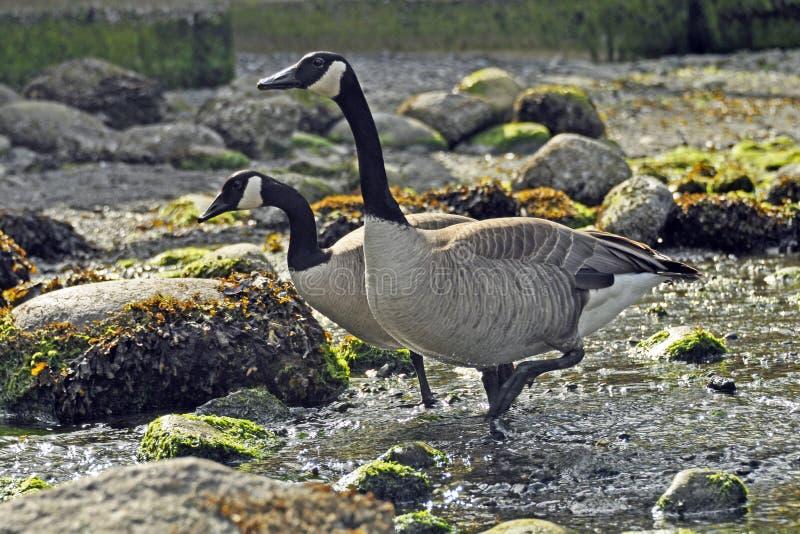 Kanada-Gänse auf Rocky Shore lizenzfreie stockfotos