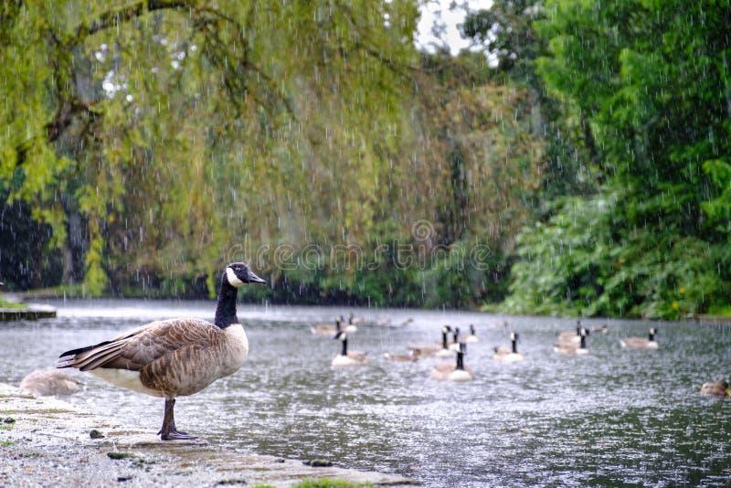 Kanada-Gänse an einem regnerischen Tag stockfotografie