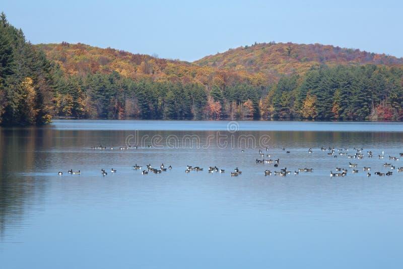 Kanada-Gänse stehen auf Reservoir mit Herbstlaub in Connecticut still stockbild