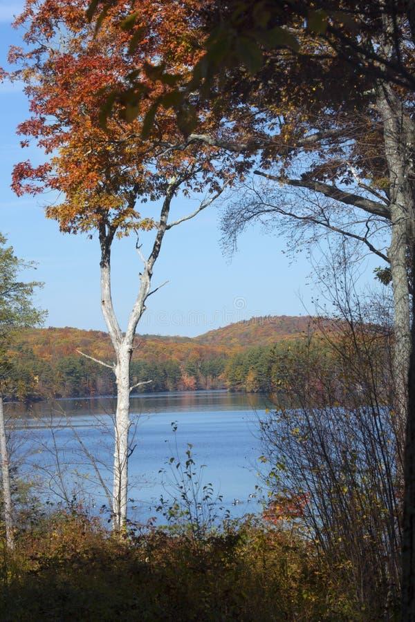 Kanada-Gänse stehen auf Reservoir mit Herbstlaub in Connecticut still lizenzfreie stockfotografie