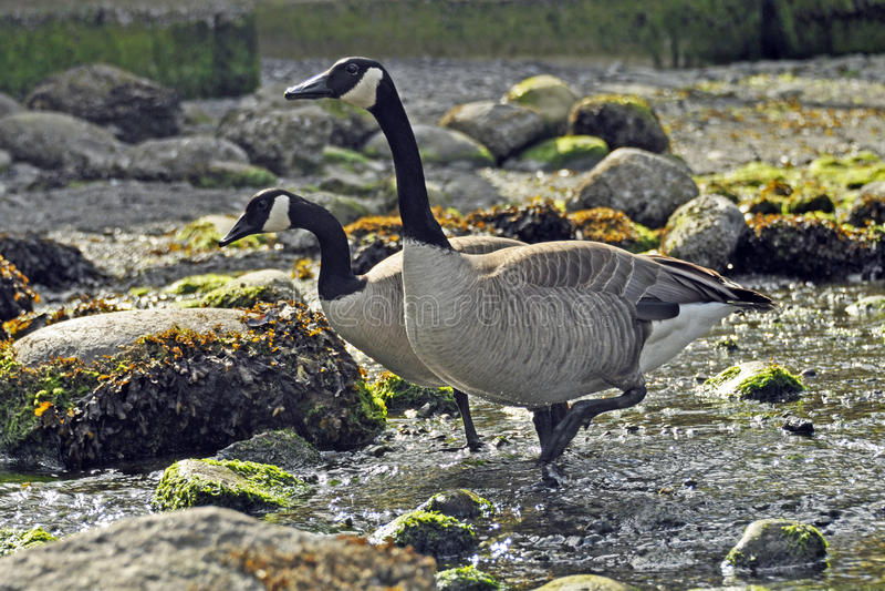 Kanada gäss på Rocky Shore royaltyfria foton