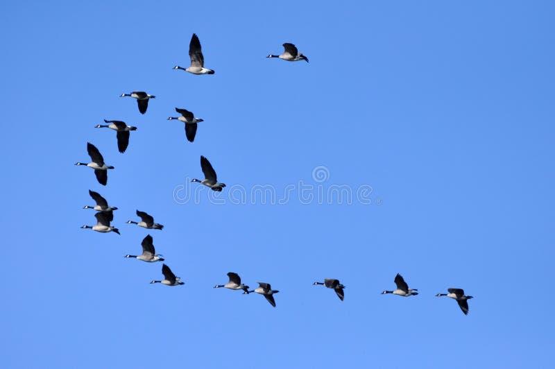Kanada gäss som flyger i den blåa himlen arkivfoto