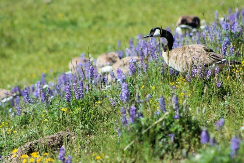 Kanada gås i den Yellowstone nationalparken royaltyfria foton