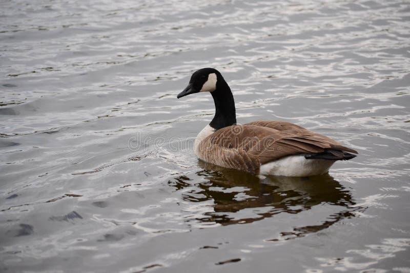 Kanada gås som svävar på vatten, Brantacanadensis, royaltyfria bilder