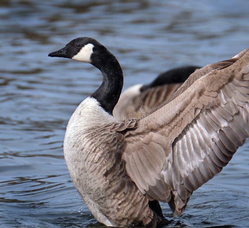Kanada gås som torkar vingar, når tvätt i sjön arkivbilder