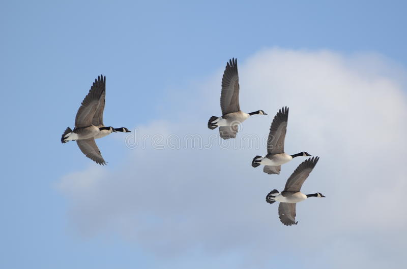 Kanada gåsflyg i himlen fotografering för bildbyråer
