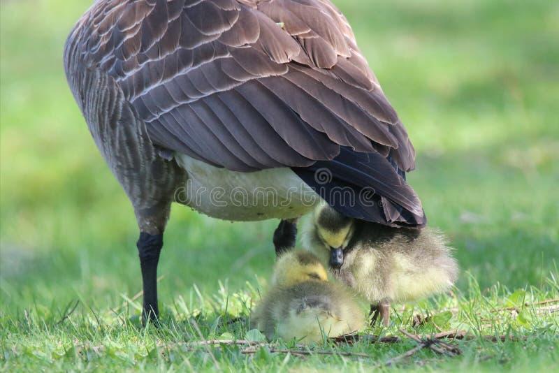 Kanada gåsgässlingar som beskyddar under modergåsen fotografering för bildbyråer