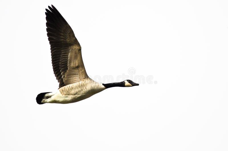 Kanada Gęsi latanie na Białym tle obraz royalty free