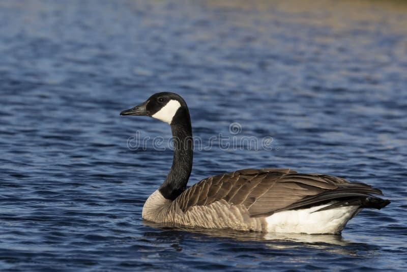 Kanada g?ssimning i Lake Michigan royaltyfri bild
