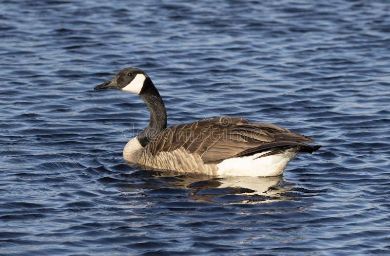Kanada g?ssimning i Lake Michigan fotografering för bildbyråer