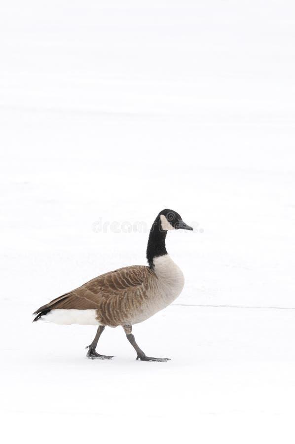 Kanada-Gans, die in den Schnee geht stockbilder
