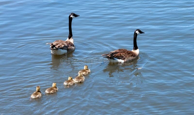 Kanada-Gansfamilie heraus für ein Schwimmen stockbild