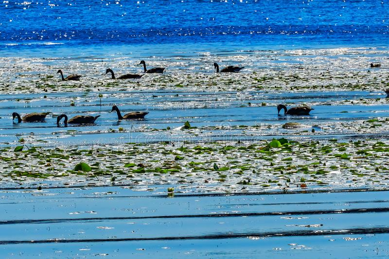 Kanada-Geese See Washington Reflections Juanita Bay Park Kirkla stockfotos