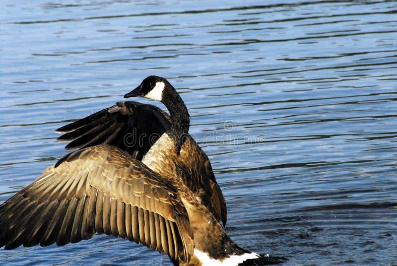 Kanada slut upp av kanadensiska vingar för en gåsslående royaltyfria bilder