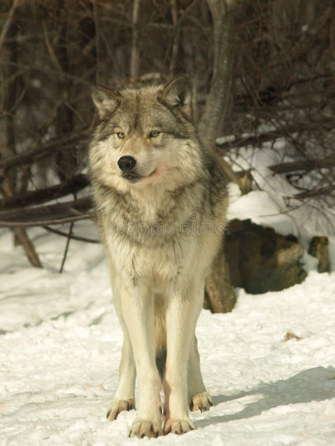 Kanada wolf royaltyfria bilder