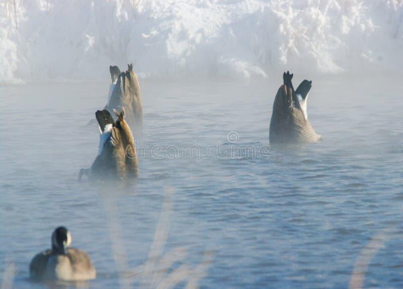 Kanadensisk gäss på det Iowa dammet fotografering för bildbyråer