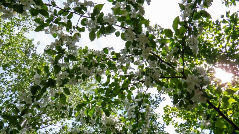 Kanadensiskt äppleträd med mycket vita blommor royaltyfria bilder