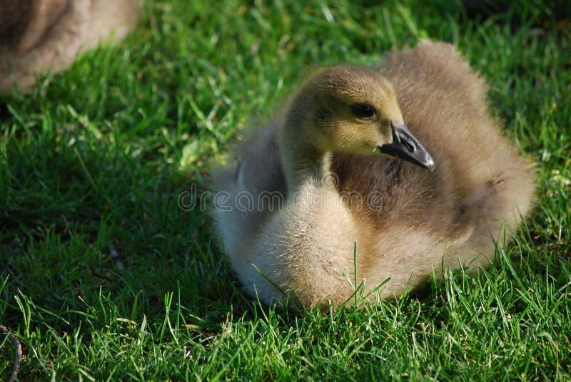 Kanadier Gosling, der im üppigen grünen Gras stillsteht lizenzfreie stockfotografie