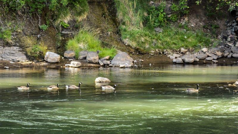 Kanadische Gänse, die im Schatten schwimmen stockfoto