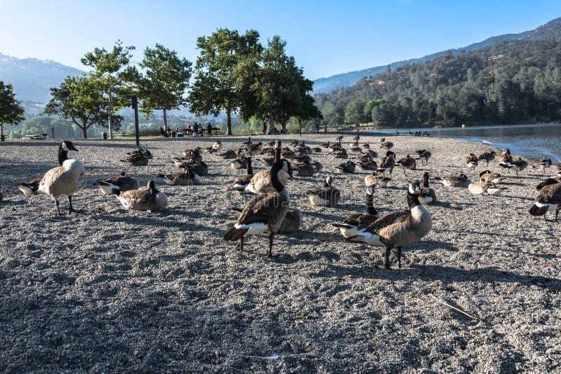 Kanadische Gänse am See Del Valle, Kalifornien stockbilder