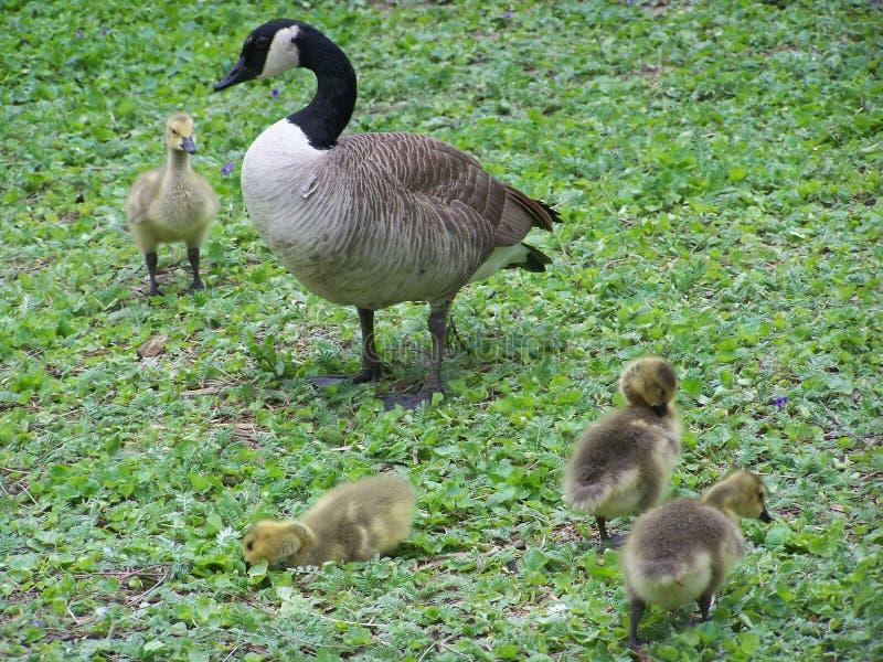 Kanadische Gans mit Babys auf Gras stockfotografie