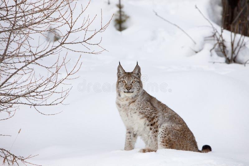 Kanadischer Luchs, der im Schnee sitzt lizenzfreie stockbilder