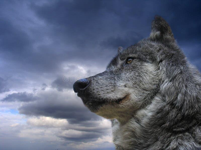Kanadischer Wolf lizenzfreie stockfotos