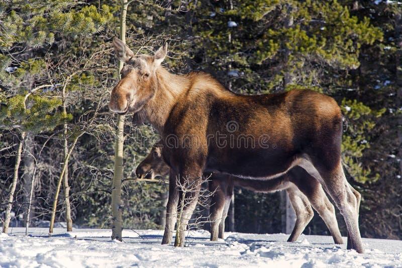 Kanadisches Elch-Tier in Rocky Mountains stockfotografie
