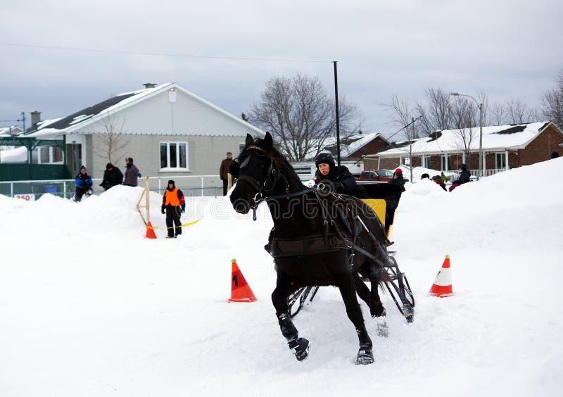 Kanadisches Pferd, das Pferdeschlitten zieht lizenzfreie stockfotos