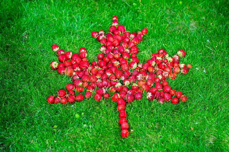 Kanadyjczyk flaga z liściem klonowym robić truskawki na zielonym gazonie świętować Kanada dzień obrazy stock