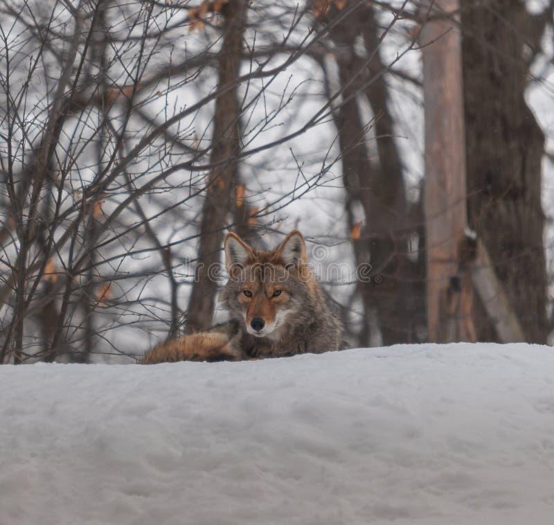 Kanadyjscy kojoty w śniegu zdjęcia stock