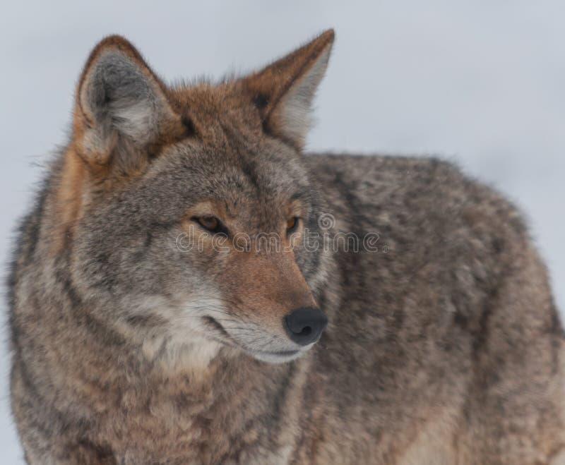 Kanadyjscy kojoty w śniegu obrazy royalty free