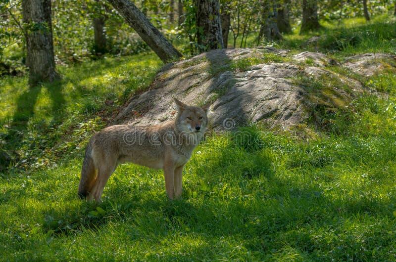 Kanadyjscy kojoty w lecie zdjęcie stock