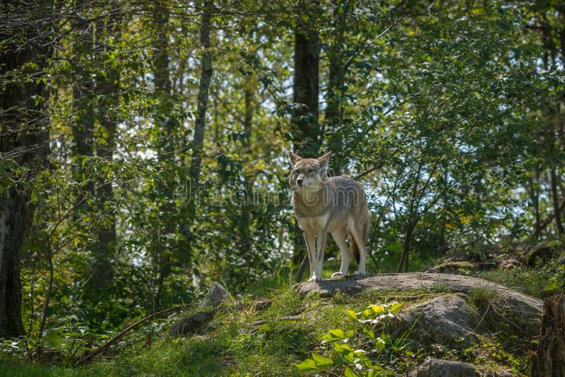 Kanadyjscy kojoty w lecie zdjęcia royalty free