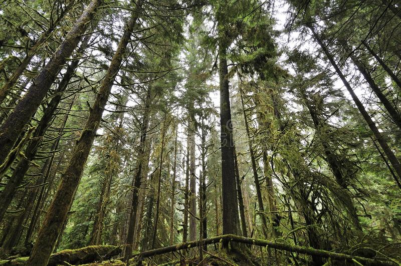 Kanadyjski las z mech obraz royalty free
