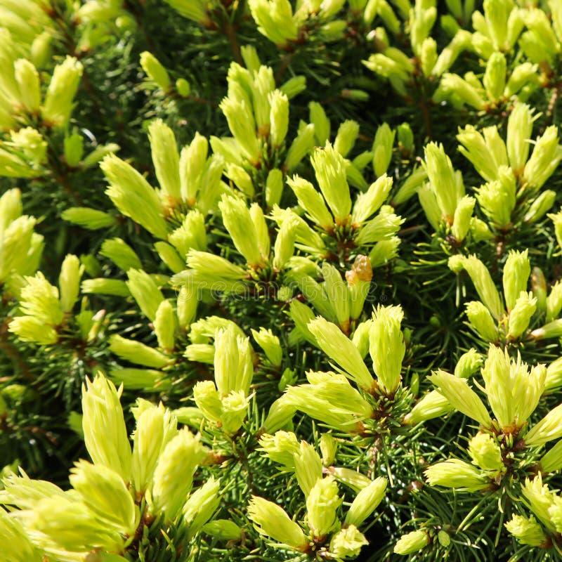 Kanadyjski ?wierkowy Picea glauca Conica Bia?a ?wierczyna Dekoracyjny iglasty wiecznozielony drzewo z biedronk? w wio?nie obrazy stock