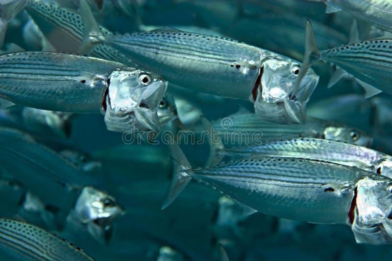 kanagurta鲭鱼rastrelliger镶边了 图库摄影