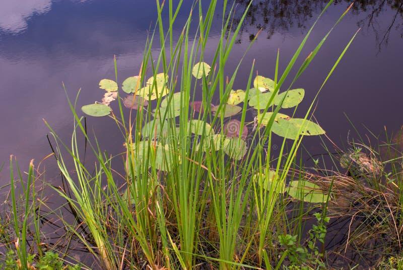 Kanal mit Schilfen und Wasser-Lilien lizenzfreie stockfotografie