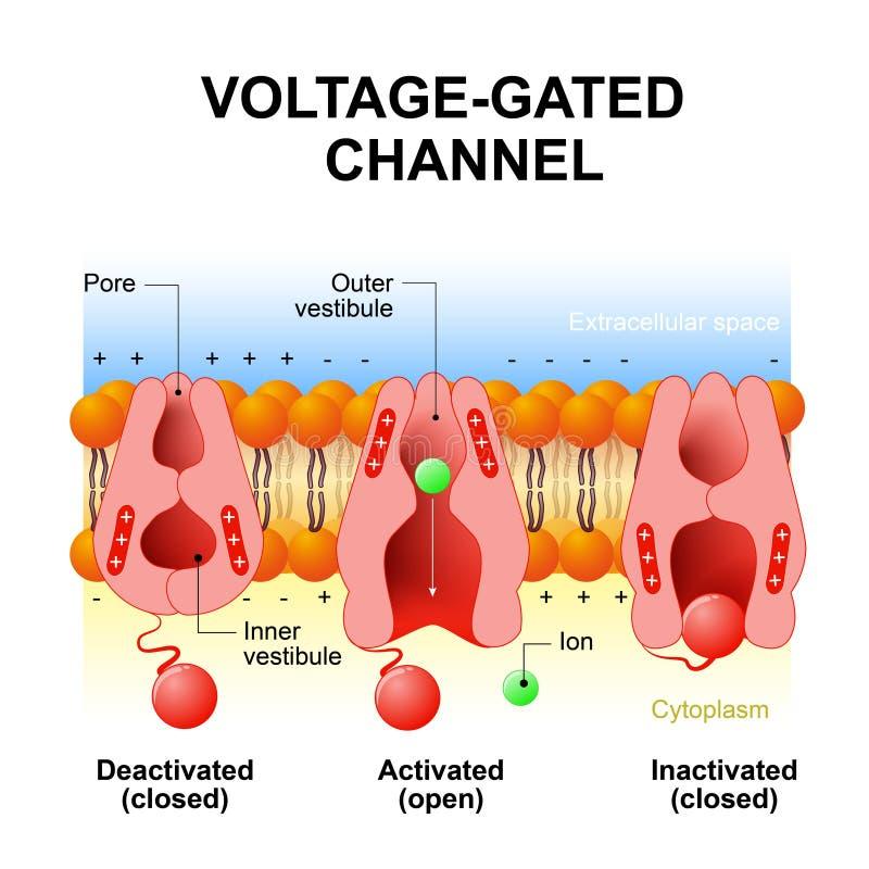 Kanalen voltage-met poorten vector illustratie