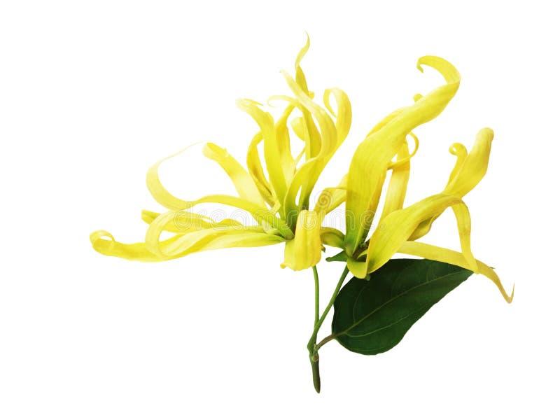 Kananga-olie, Cananga-odorata bloesembloem met groen blad royalty-vrije stock afbeelding