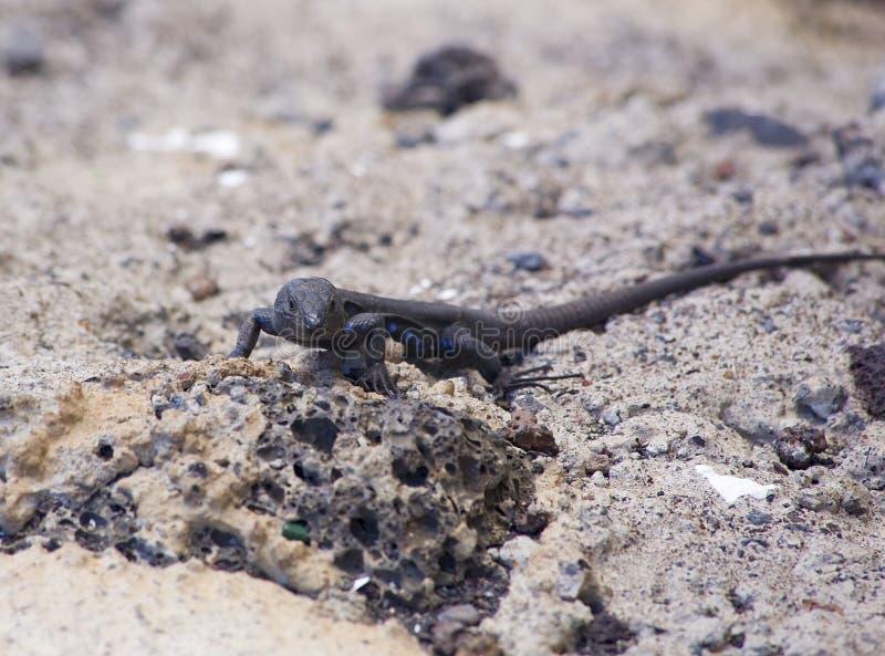 kanarek uważnie jaszczurki western zdjęcie stock