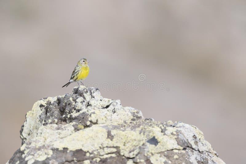 Kanarie,海岛金丝雀,雀类卡纳里亚 免版税图库摄影