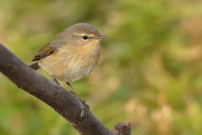 Kanariefågelöar Chiffchaff - Phylloscopuscanariensis royaltyfria foton