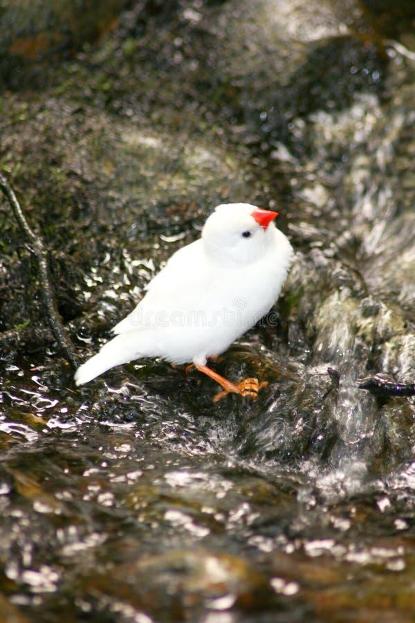 kanariefågel royaltyfri bild